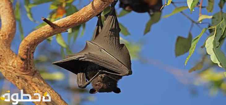 الخفاش لا يمكنه الرؤية