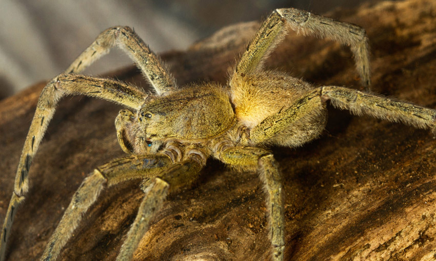 العناكب البرازيلية الجوّالة
