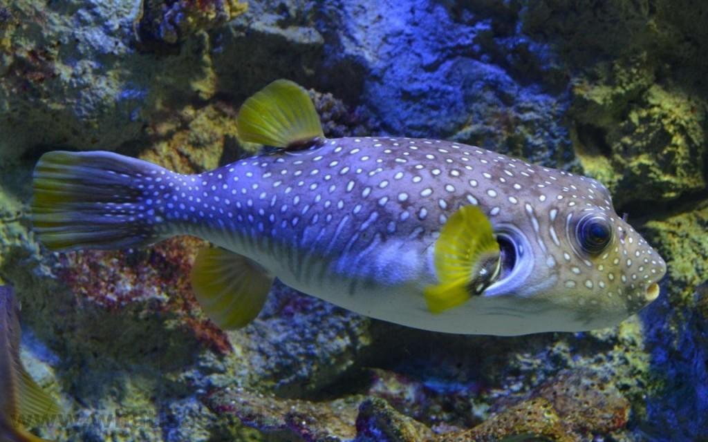 سمكة الينفوخية