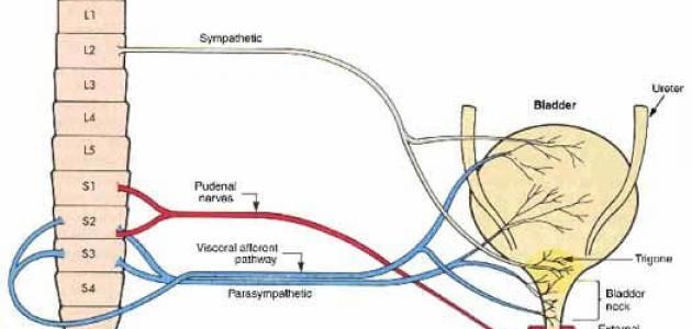 المثانة العصبية أعراضها وطرق علاجها