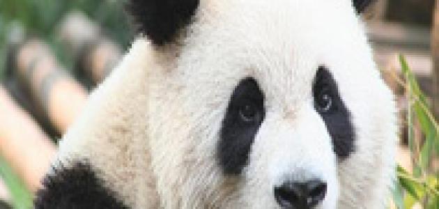 حقائق مذهلة لا تعرفها عن حيوان الباندا