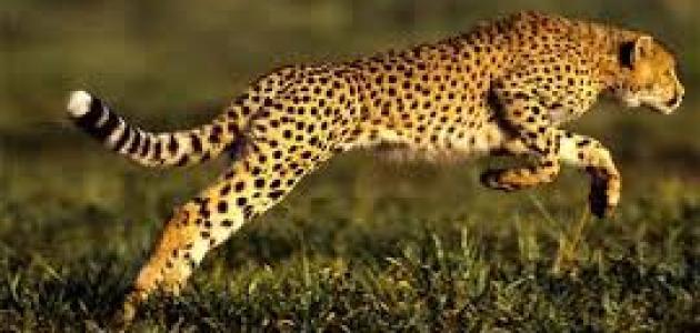 أسرع 10 حيوانات فى العالم